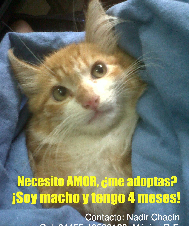 Gatito lindo busca una familia que le dé amor ¿Me adoptas? #buscounhogar #circulohumano