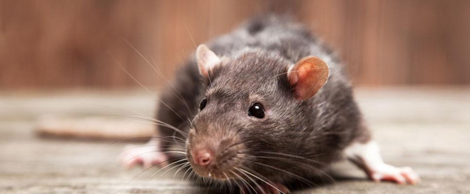 Unschuldige Ratten?