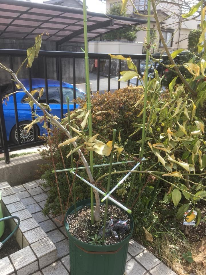 レモンの木の葉っぱがシワシワになりました。