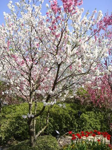 花桃をベランダで育てることはできますか?