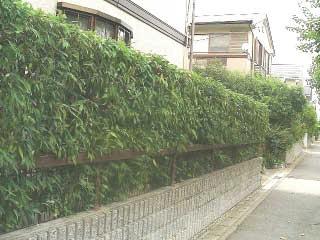 shirakashi_ikegaki.jpg