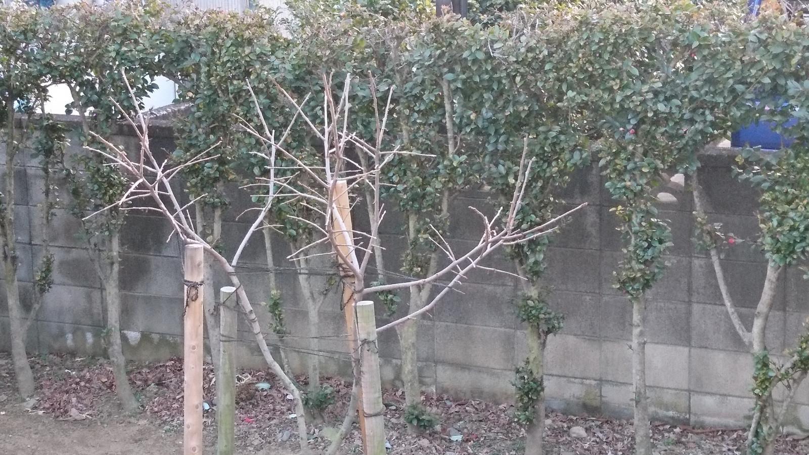 柿の剪定と樹形作りについて