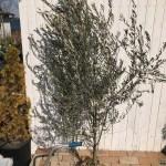 枯れ込んだオリーブの木を復活させる方法。