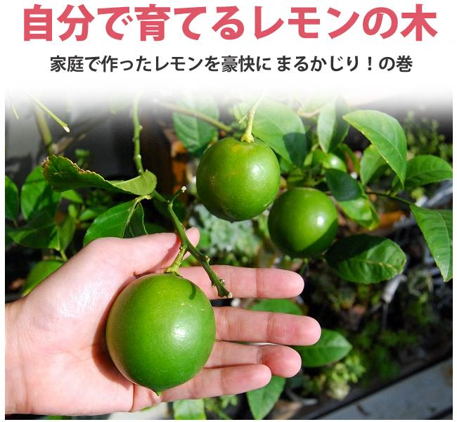枯れそうなレモンの木を復活させる方法