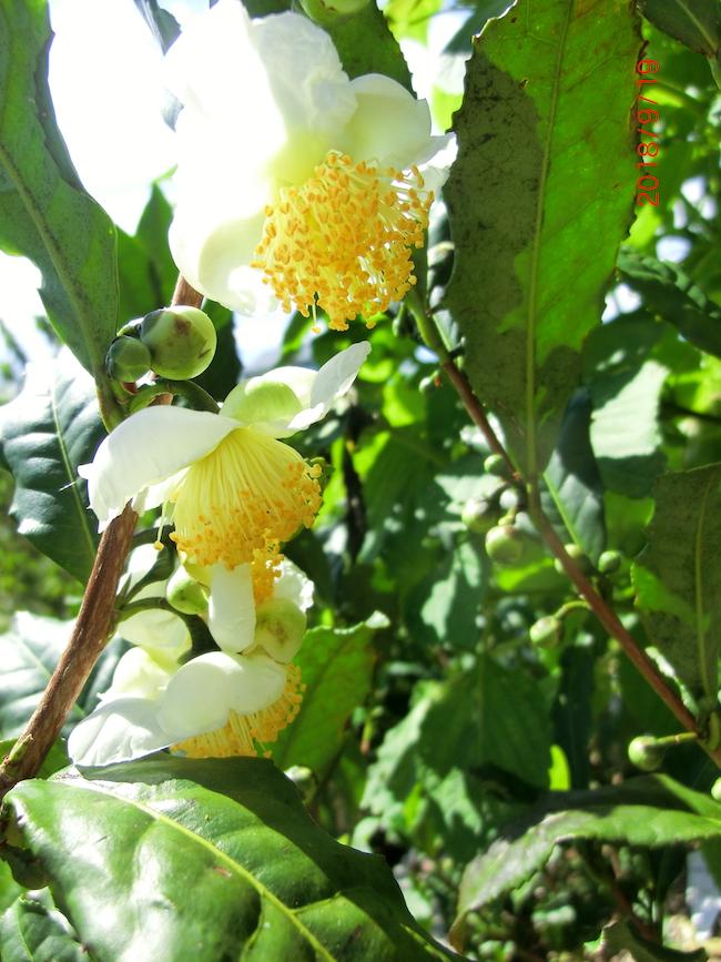 お茶の木の花は咲かせても良いのですか?