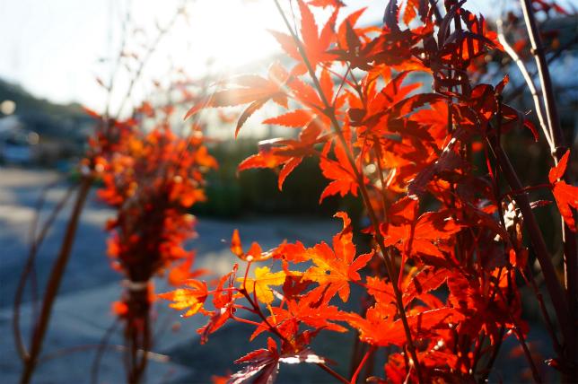 紅葉のメカニズム