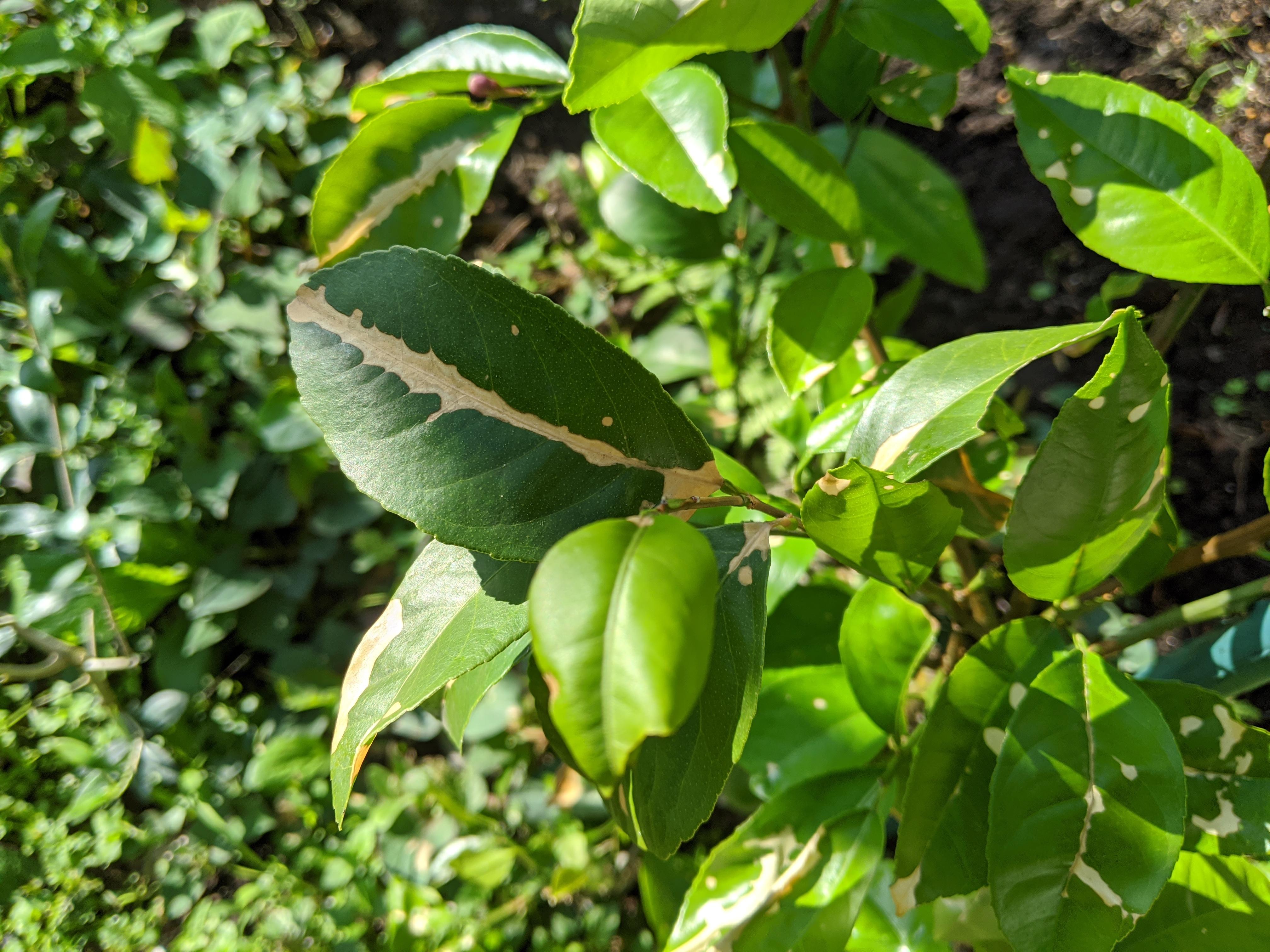 レモンの枝や葉が茶色くなる原因