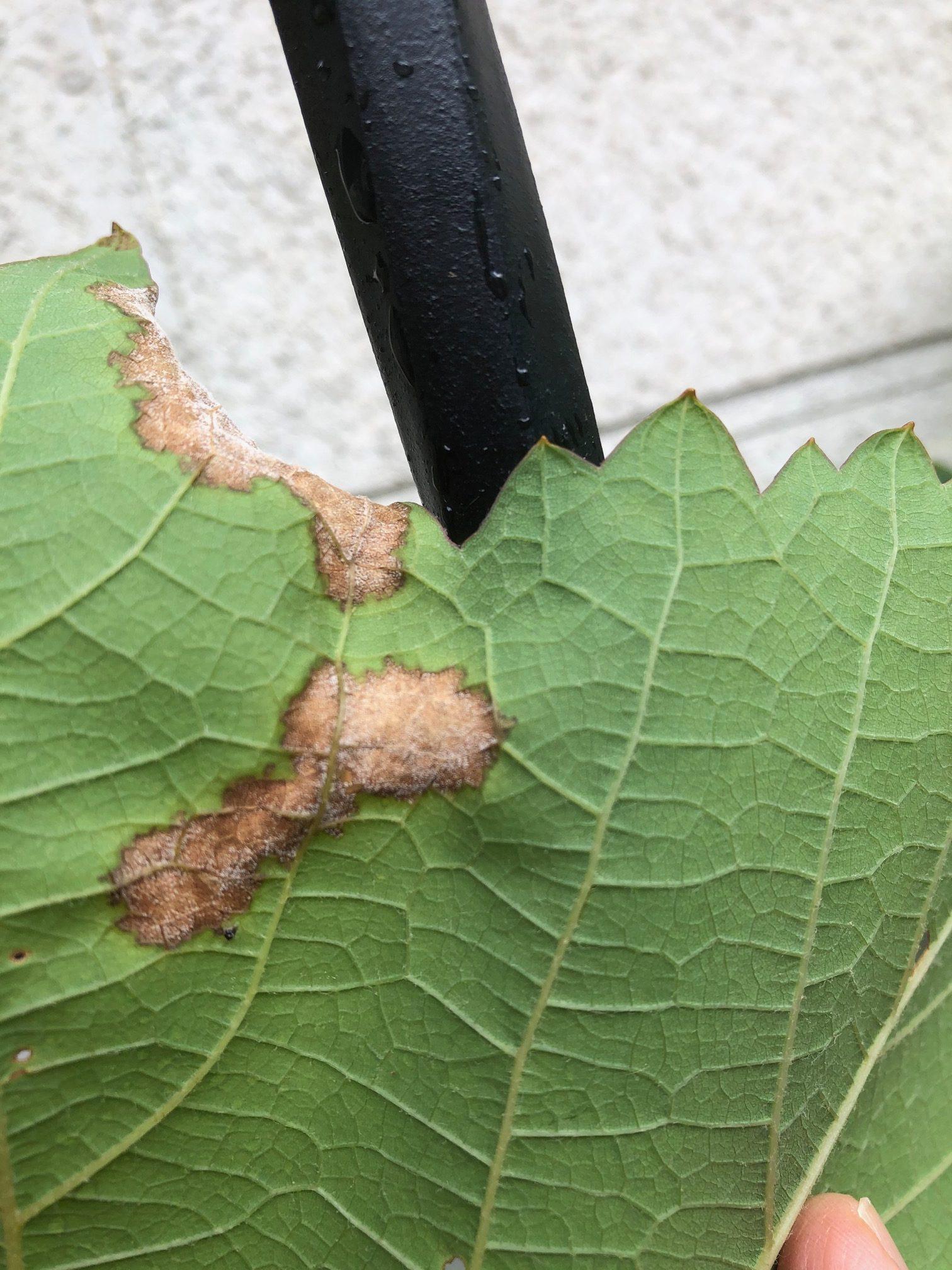 ぶどうの葉の裏にカビがついた病気はベト病。