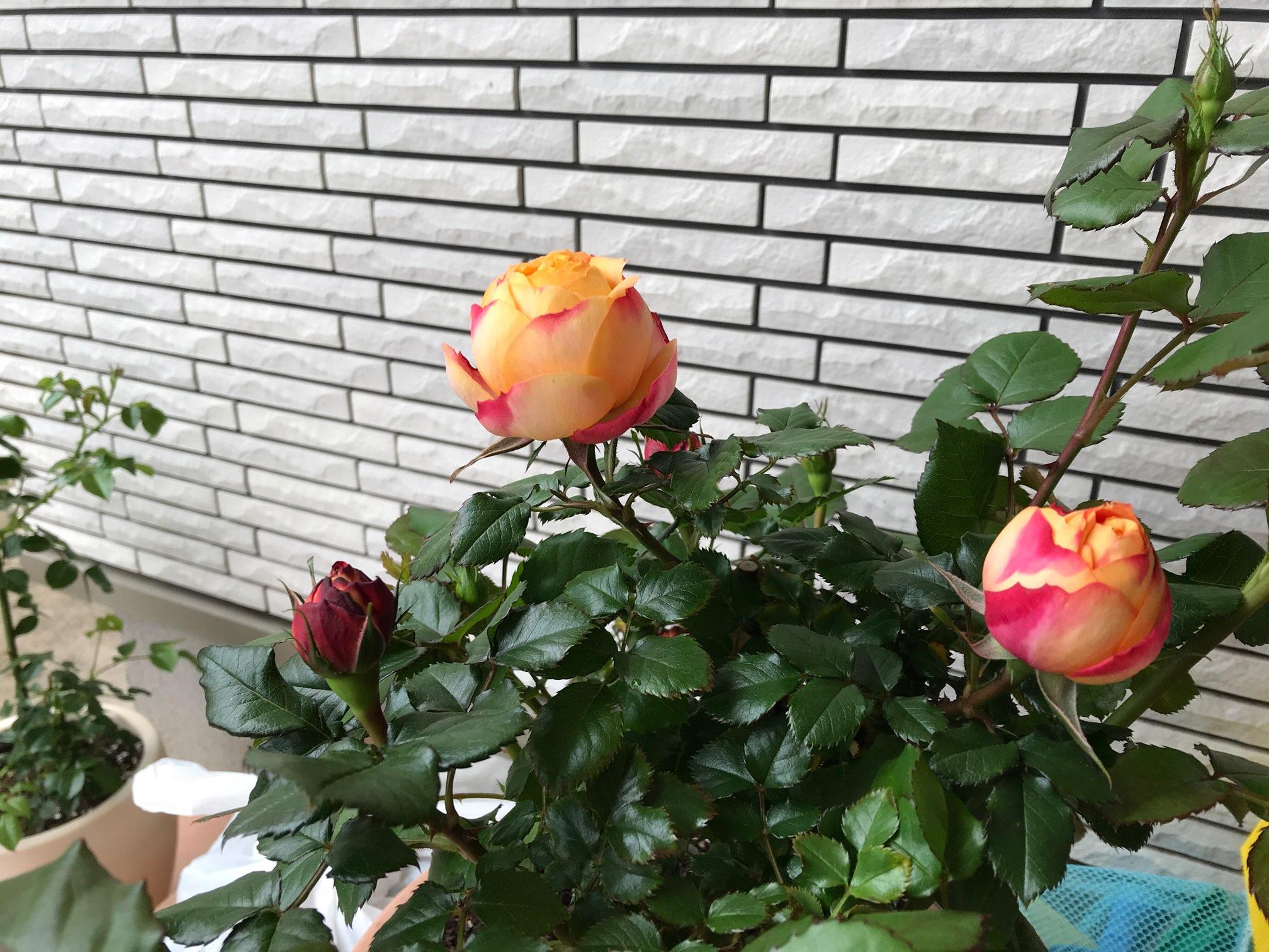 バラの蕾が開かないボーリングの原因と対処法