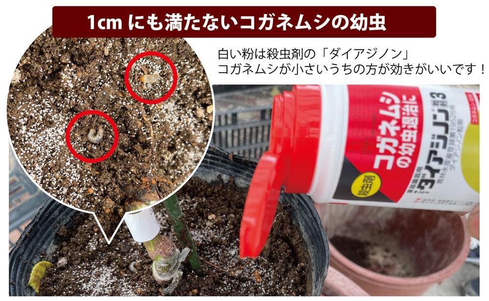 9月はコガネムシの幼虫駆除の最適期!