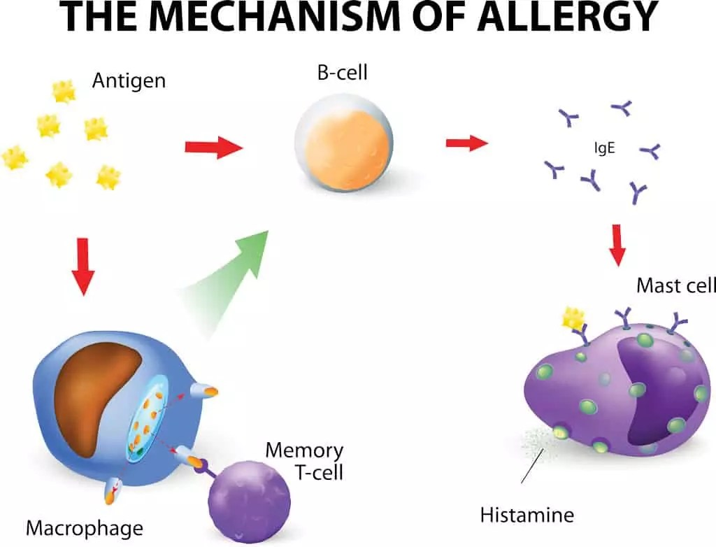 Cycle of Allergy / Allergies