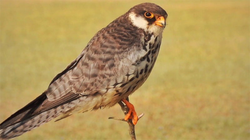 Migratory Amur falcon 'Manipur' hunted down, forest minister says no one will be spared