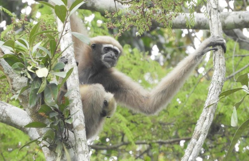 Meghalaya's community-managed forests protect endangered Western Hoolock Gibbon