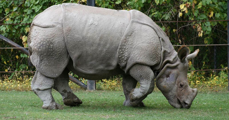 Man from Nagaland who ran rhino-poaching  network arrested in Assam