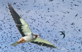 Wildlife Division appeals to ensure  safe stay & passage of Amur Falcons