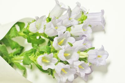 白色のリンドウ