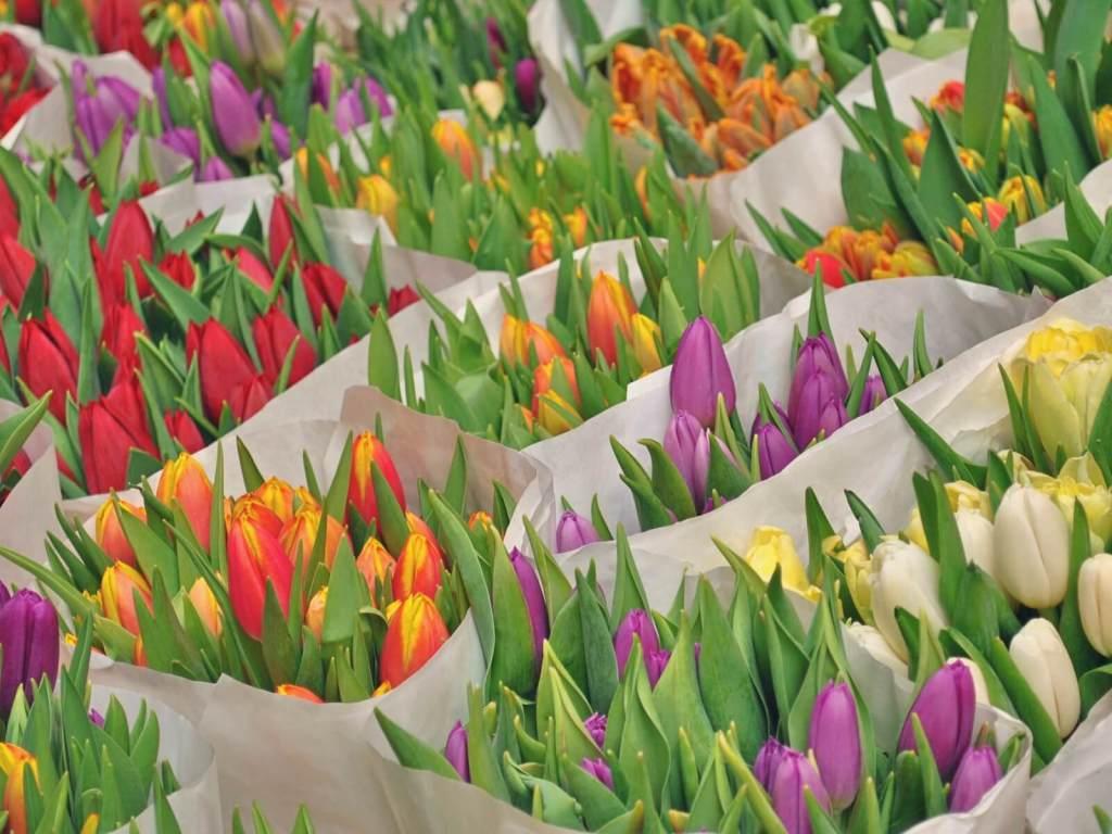 Holenderskie tulipany w Amsterdamie.