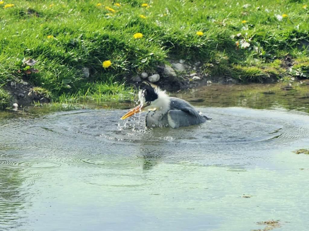 Czapla złowiła rybę.