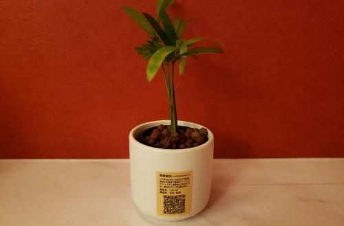 無印良品 観葉植物 イヌマキ