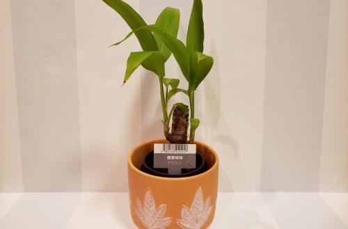 ダイソーで購入した「観葉植物 Aセット ドラセナ」と「植木鉢(ナチュラル風)」