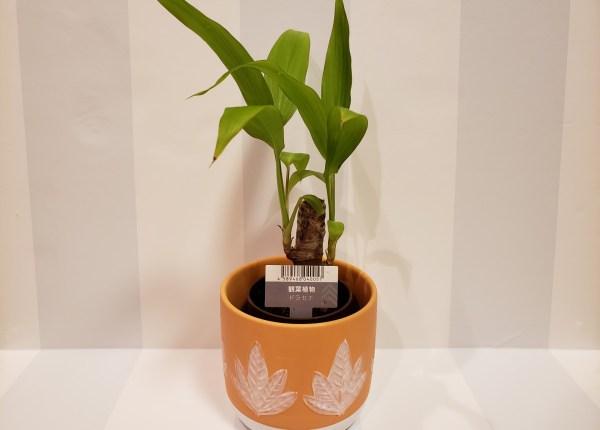 リニューアルした「ダイソー 名古屋栄スカイル店」で観葉植物を買ってみた「ドラセナ」