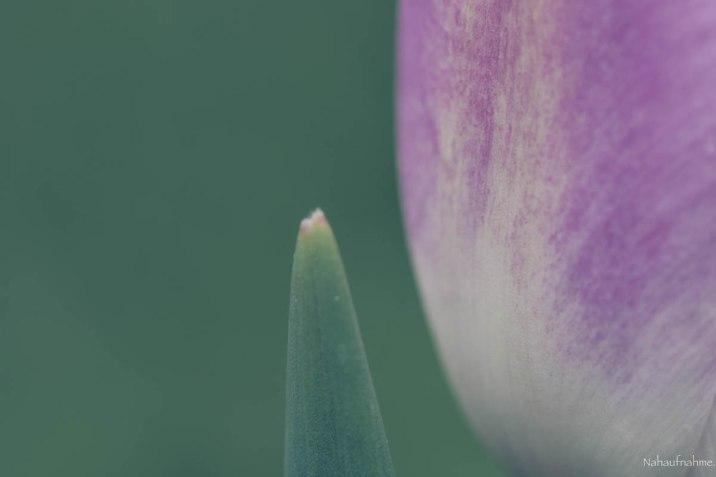 Tulpe4