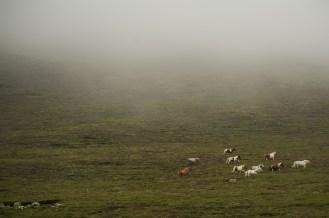 Andere leben in quasi wilden Herden - hier auf Foula