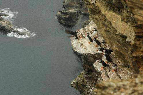 Sie kommen nur für wenige Monate im Sommer an Land um an steilen Küsten in großen Kolonien zu brüten.