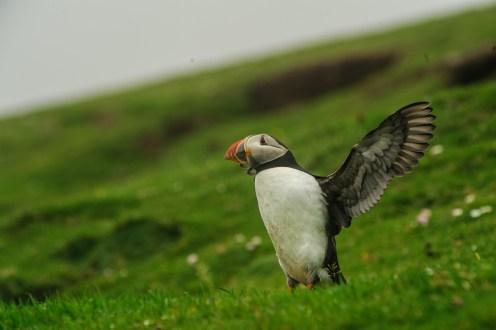 Häufig flattern die Vögel nur mit den Flügeln, scheinbar eine Form der Kommunikation.
