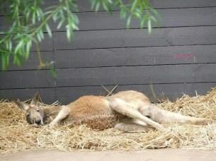 Another Kangaroo sleeping