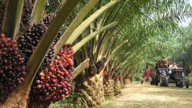 Photo of Massive Future Benefits to Nigeria In Palm Oil Production in 2021