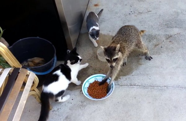 The Funniest Racoon Voice Over Video You Will Watch Today