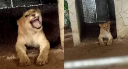 Image result for Lagos Taskforce Tranquilizes, Evacuates Lion From Victoria Island House To Zoo