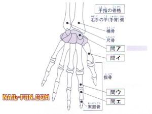 手指の骨格