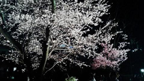 Hanami at Night