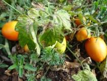 How to Protect Your Tomato Farm Against Tuta absoluta Disease