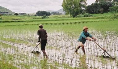 Buhari Set To Launch Rice Farmers' Borrowers Scheme