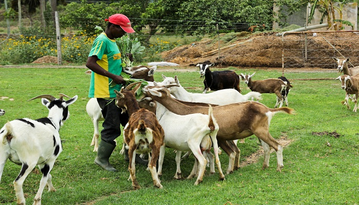 Goat Farming Business in Nigeria - businesshab com