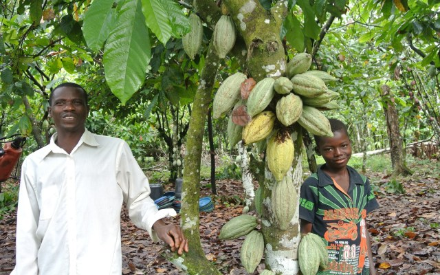 Nigerian Cocoa beats competitors, to earn N220.5 billion in 2019, Nigeria AFEX Cocoa, Nigerian cocoa beats competitors, set to record N220.5 billion in global market , Nigeria's cocoa exports to fall by $100m as prices rise in futures market.