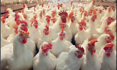 CBN unveils revival programme for poultry farmers, offers N36 billion