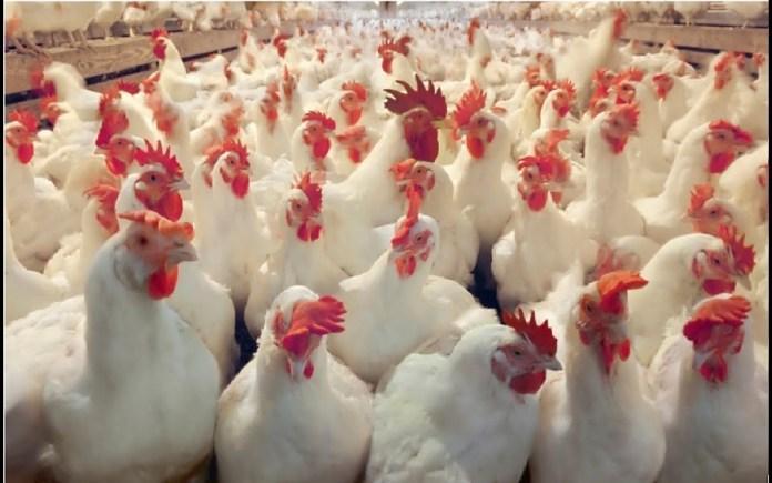 CBN unveils revival programme for poultry farmers, offers N36 billion