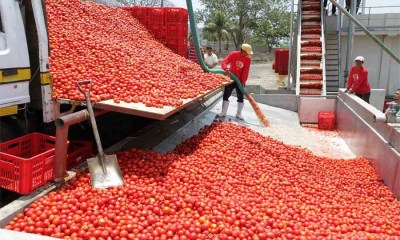Dangote's plant seeks total ban of tomatoes import , Fear among tomato farmers as Dangote Farms suspends seedlings distribution