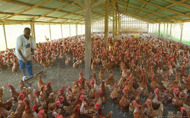 Poultry farmers beg President Buhari not to open closed borders