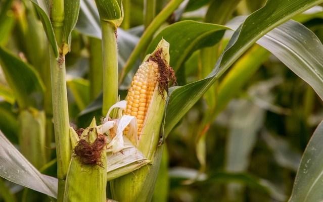 HO Corn