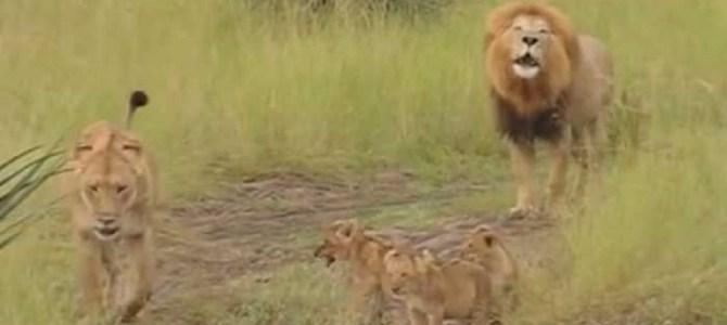 ライオンの赤ちゃんが吠える練習をしている様子が超可愛い!