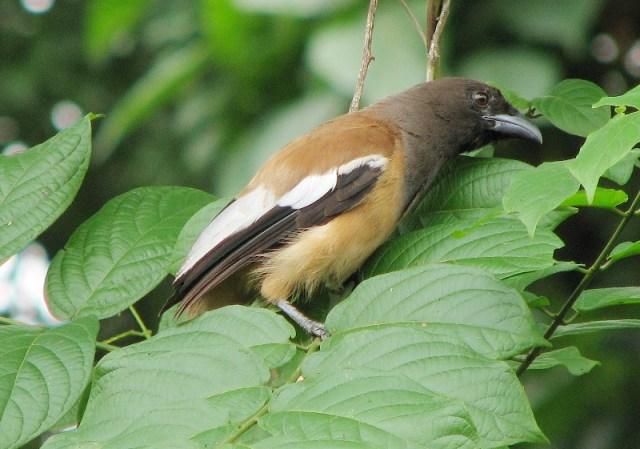 Cara Membedakan Burung Murai Batu Jantan Dan Burung Murai Betina