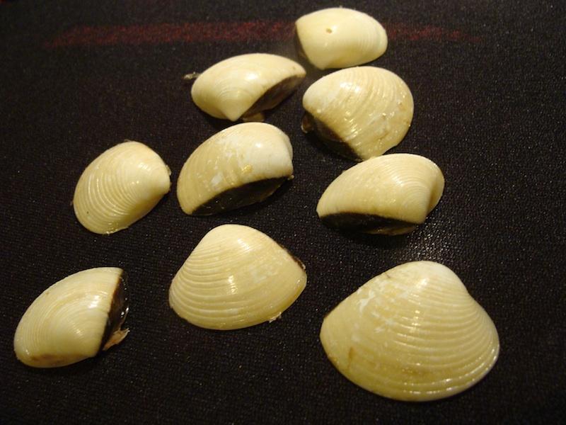 Muszle małży portugalskich