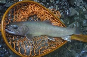 南アルプス深南部『最終日の源流釣り』にでかける。大きなヤマトイワナは釣れるかなとワクワクだが、寝不足でツライ!