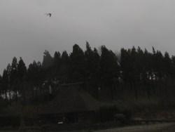 強風の中飛ぶダイサギ