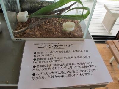 生き物展示~ニホンカナヘビ